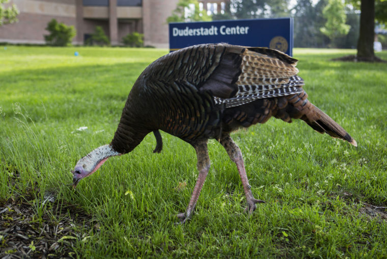 A photograph of a turkey on North Campus.