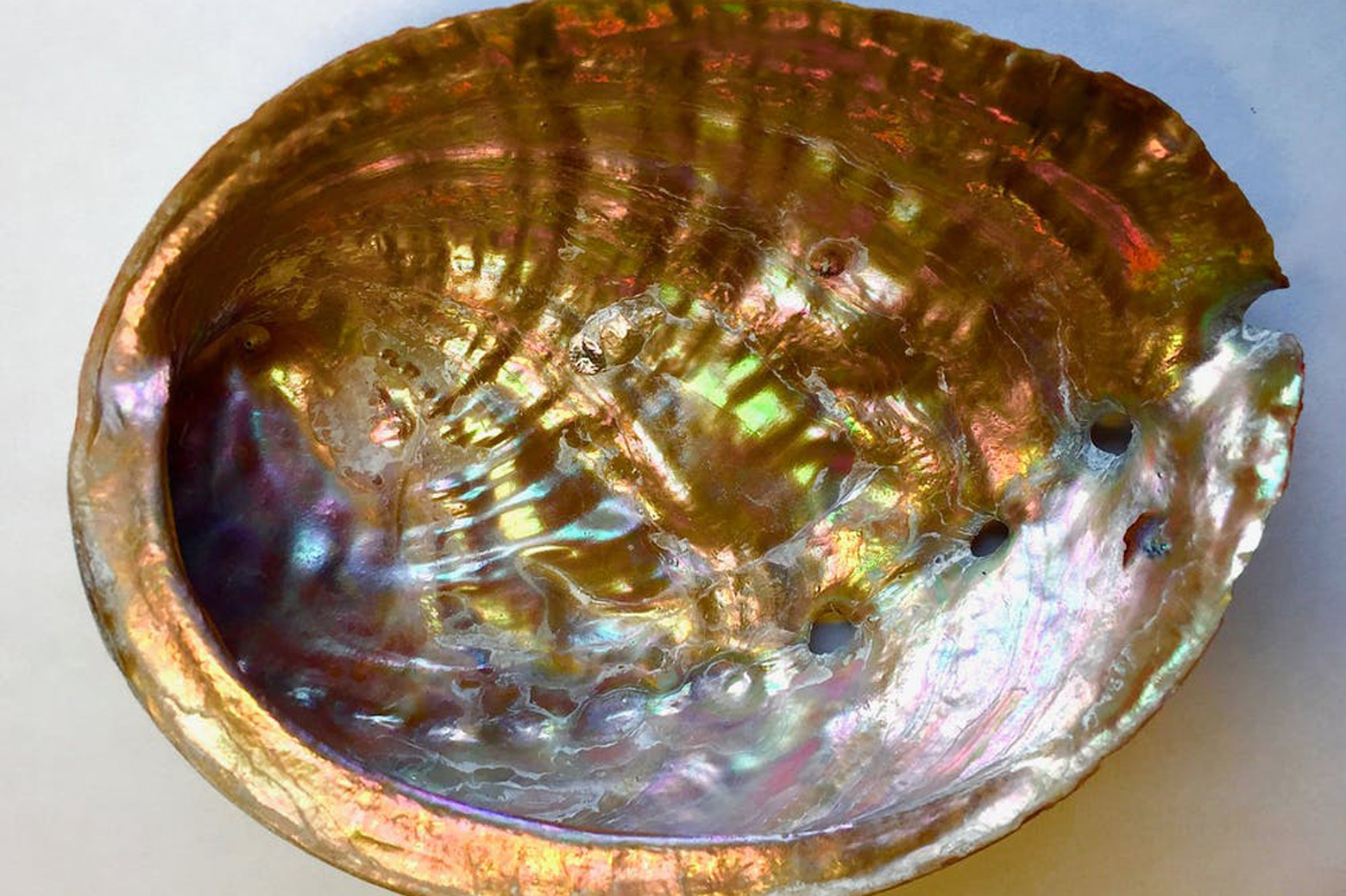 Inside of an abalone shell