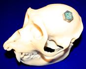 implant in skull