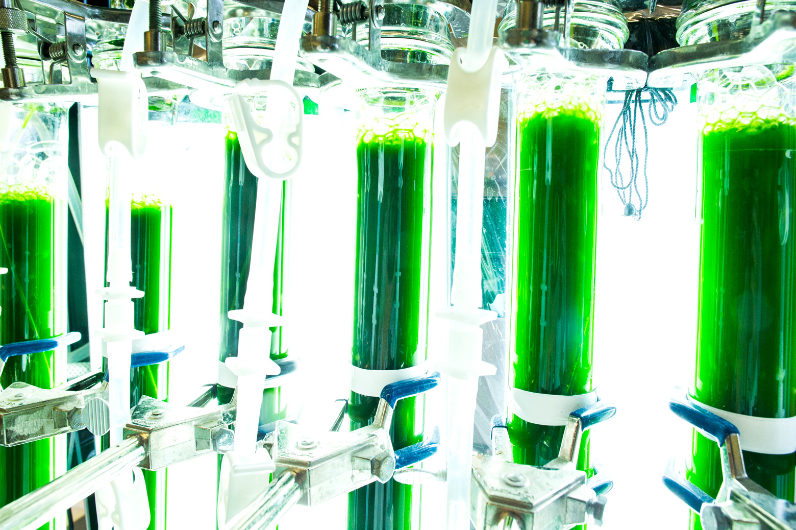 Live micro algae that is being introduced as a source of vegetable oils that can be used in the manufacturing of biodiesel fuel. Photo: Evan Dougherty