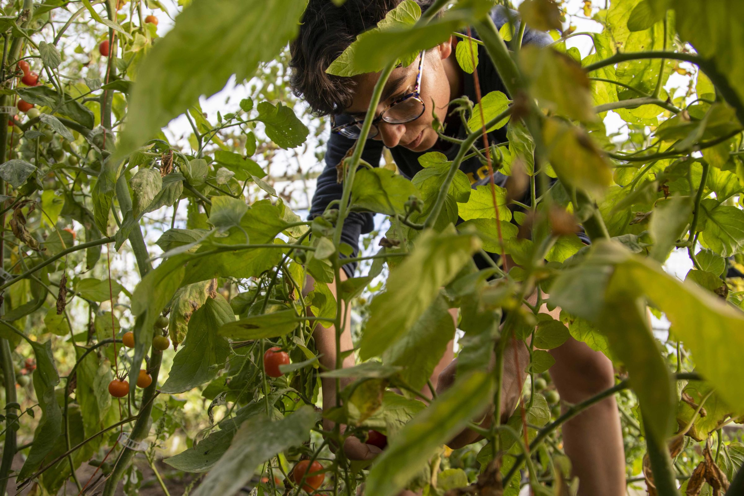 A photograph of a student picking grape tomatoes.