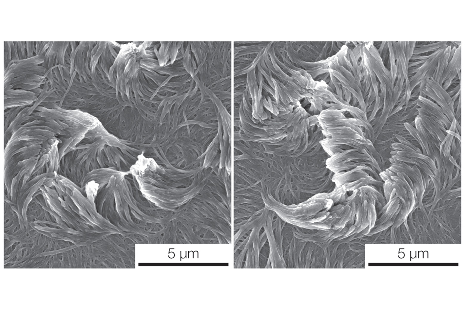 An electron microscope image of two arrays of fibers curving in opposite directions, each templated with a liquid crystal. Credit: Kenneth Cheng, Lahann Lab, Michigan Engineering