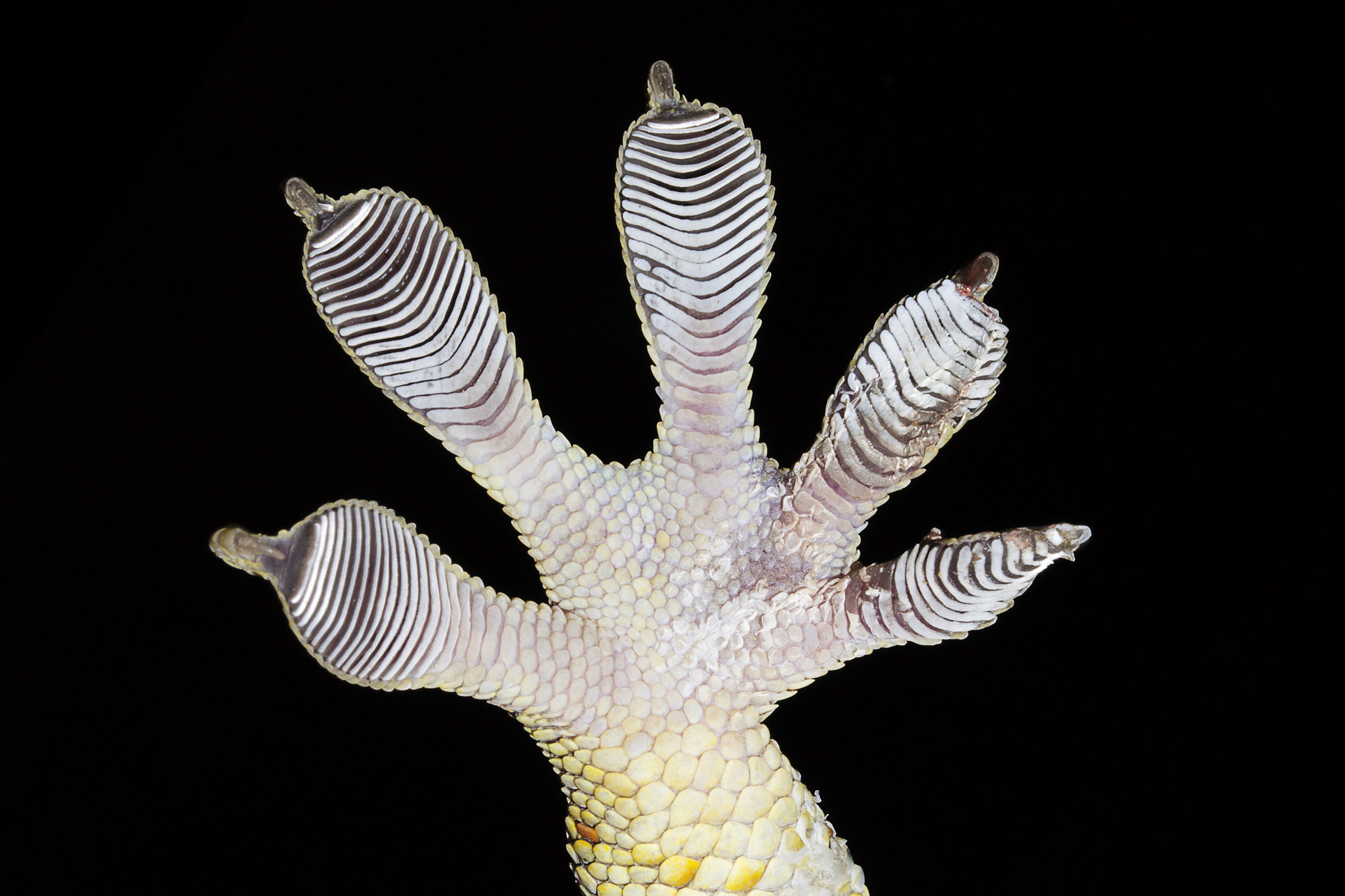 Gecko foot seen from underneath