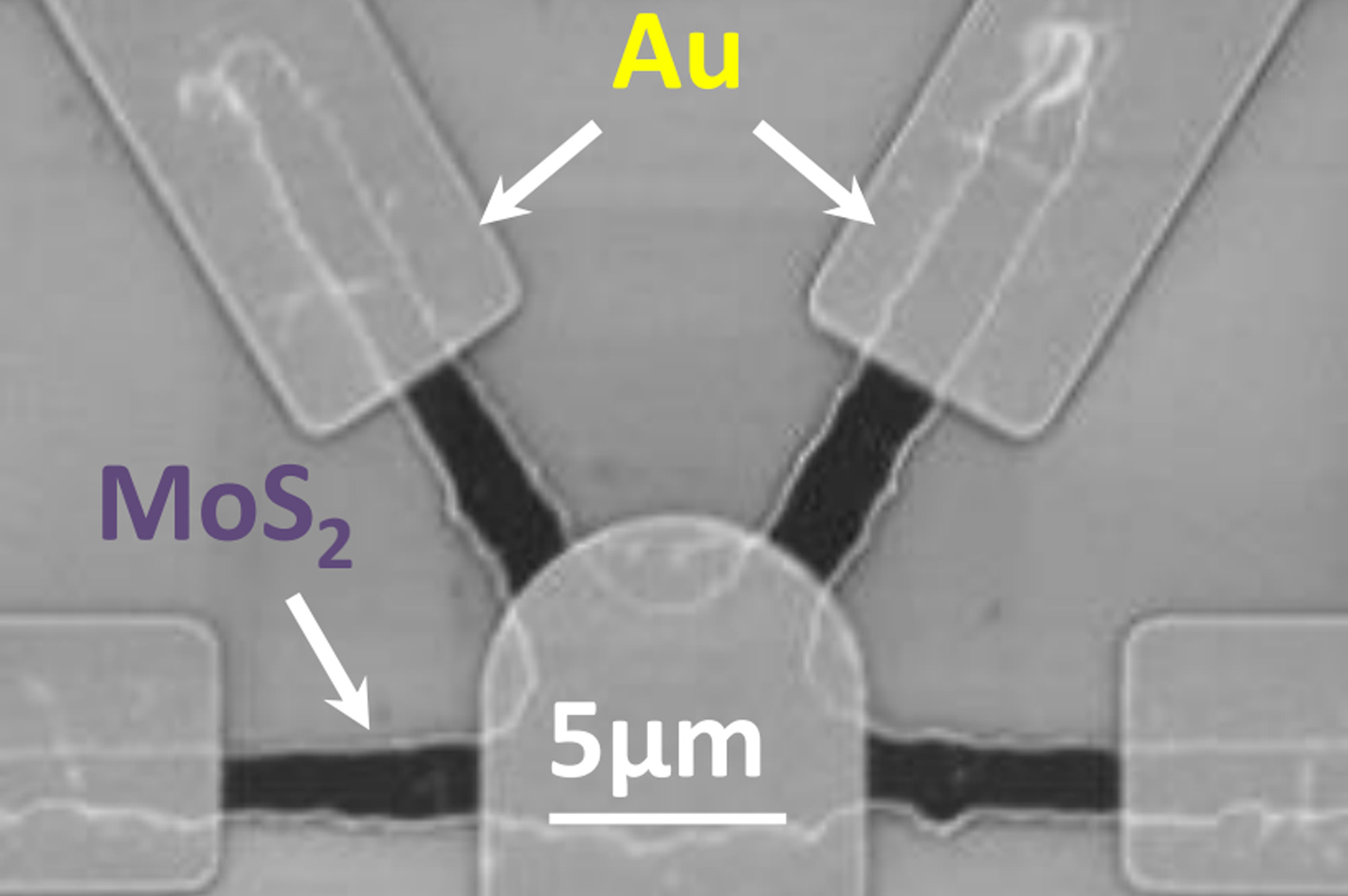 An electron microscope image showing the rectangular gold (Au) electrodes representing signalling neurons and the rounded electrode representing the receiving neuron.