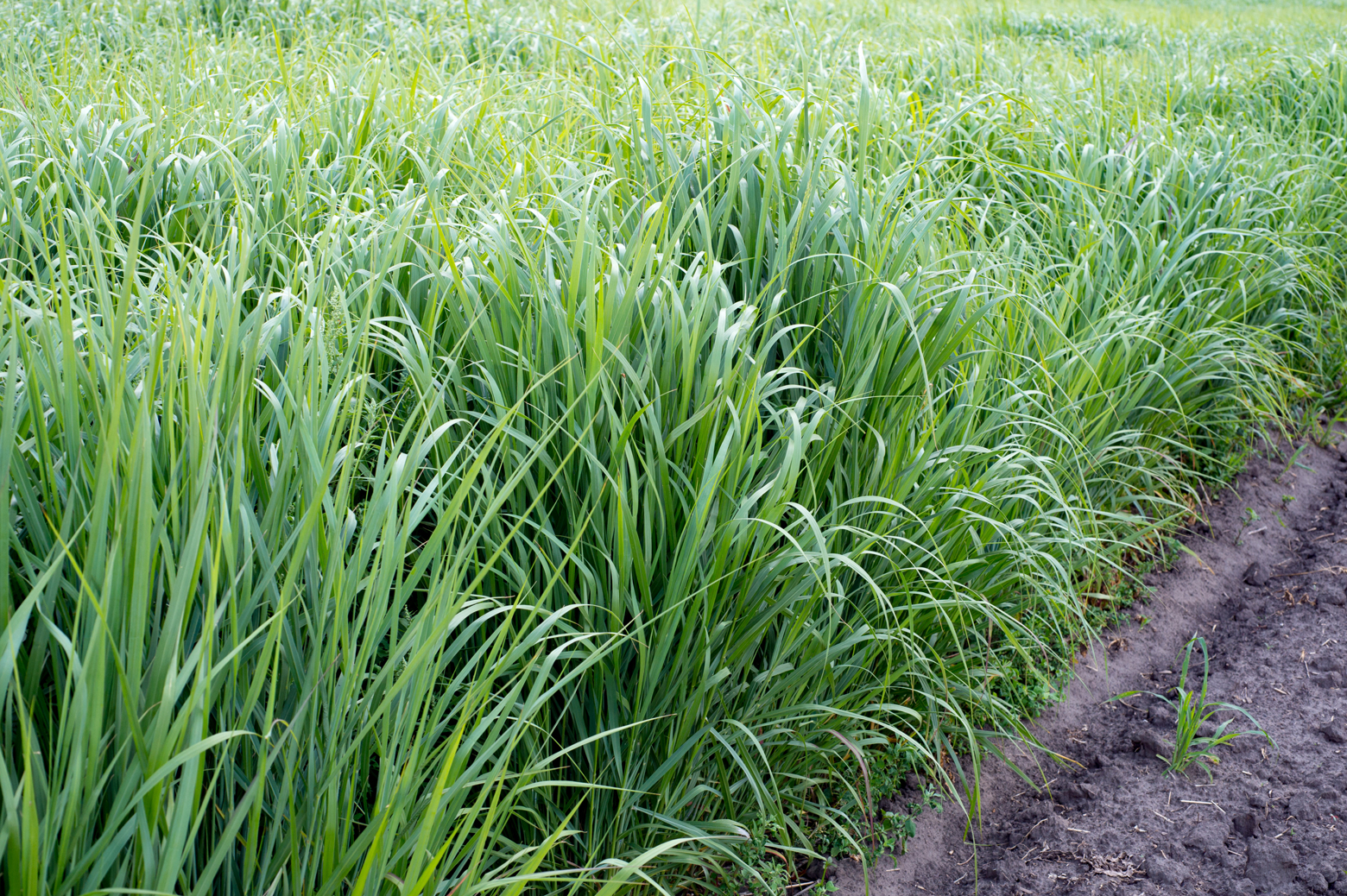 Renewable resource switchgrass for heating and production biofuel. Getty Images.