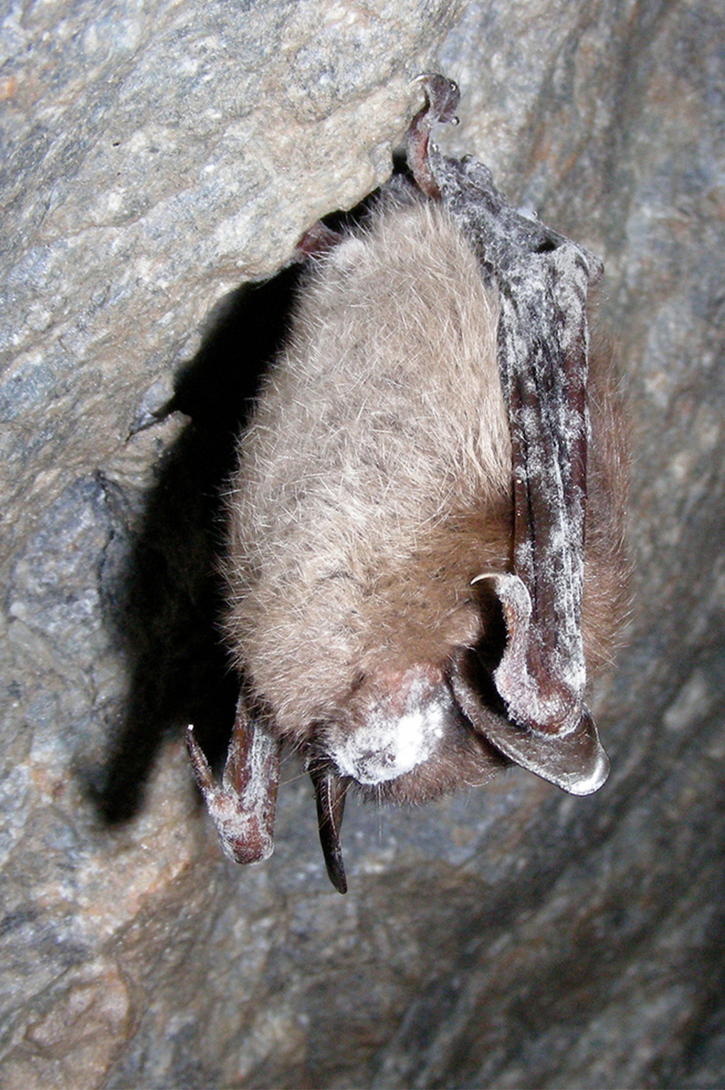 A little brown bat with white-nose syndrome
