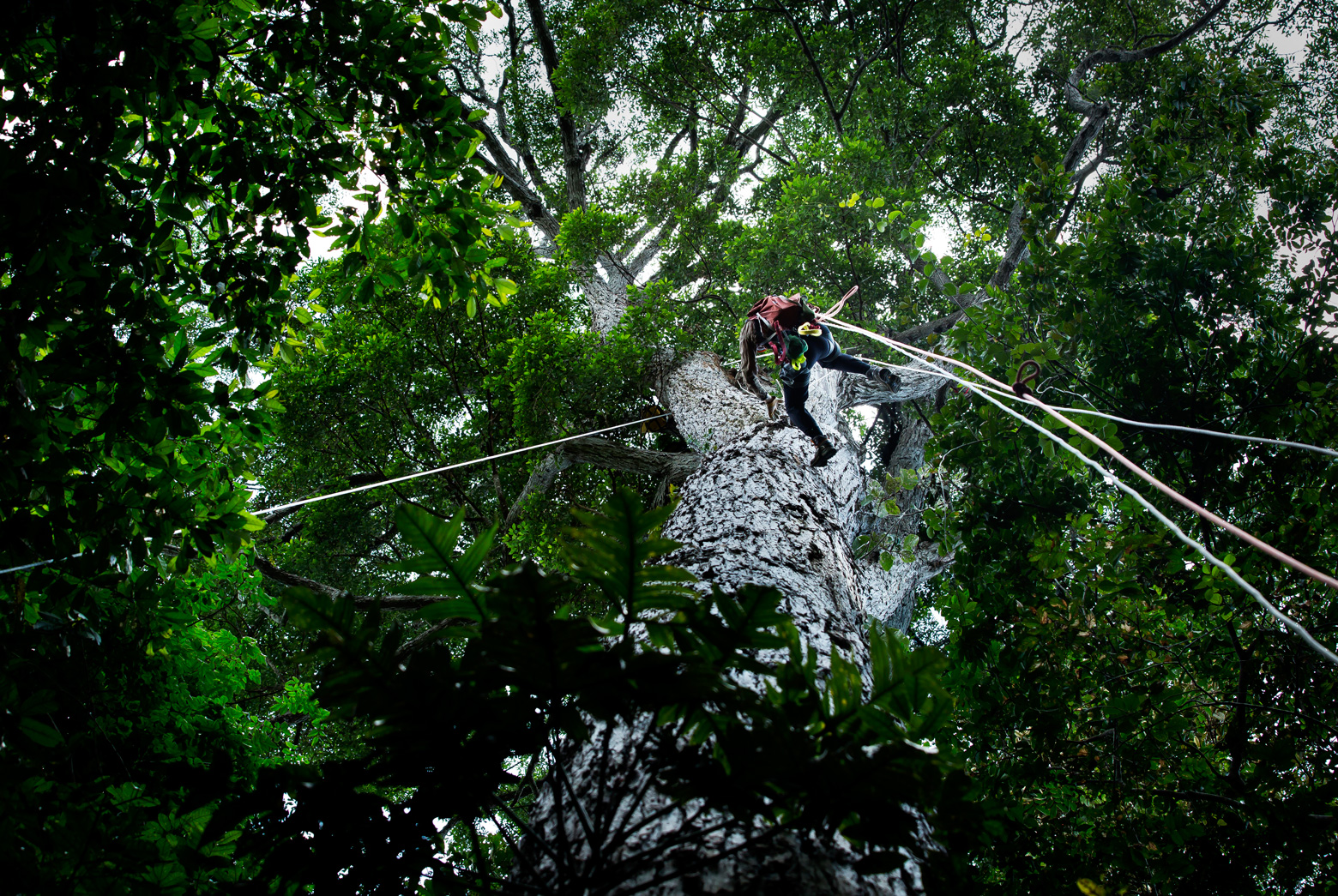 Valeriy Ivanov scales a tree in the Amazon