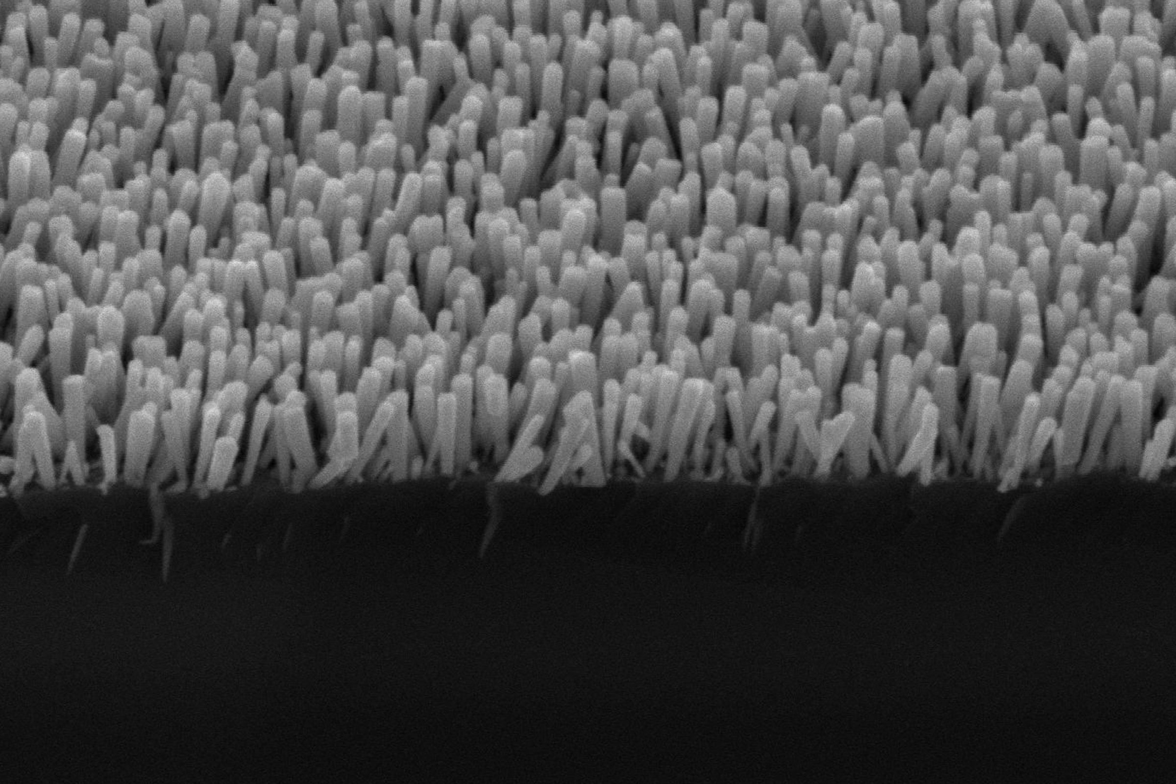 An electron microscope image shows the semiconductor nanowires. These deliver electrons to metal nanoparticles, which turn carbon dioxide and water into methane. Credit: Baowen Zhou, Mi Group, University of Michigan.