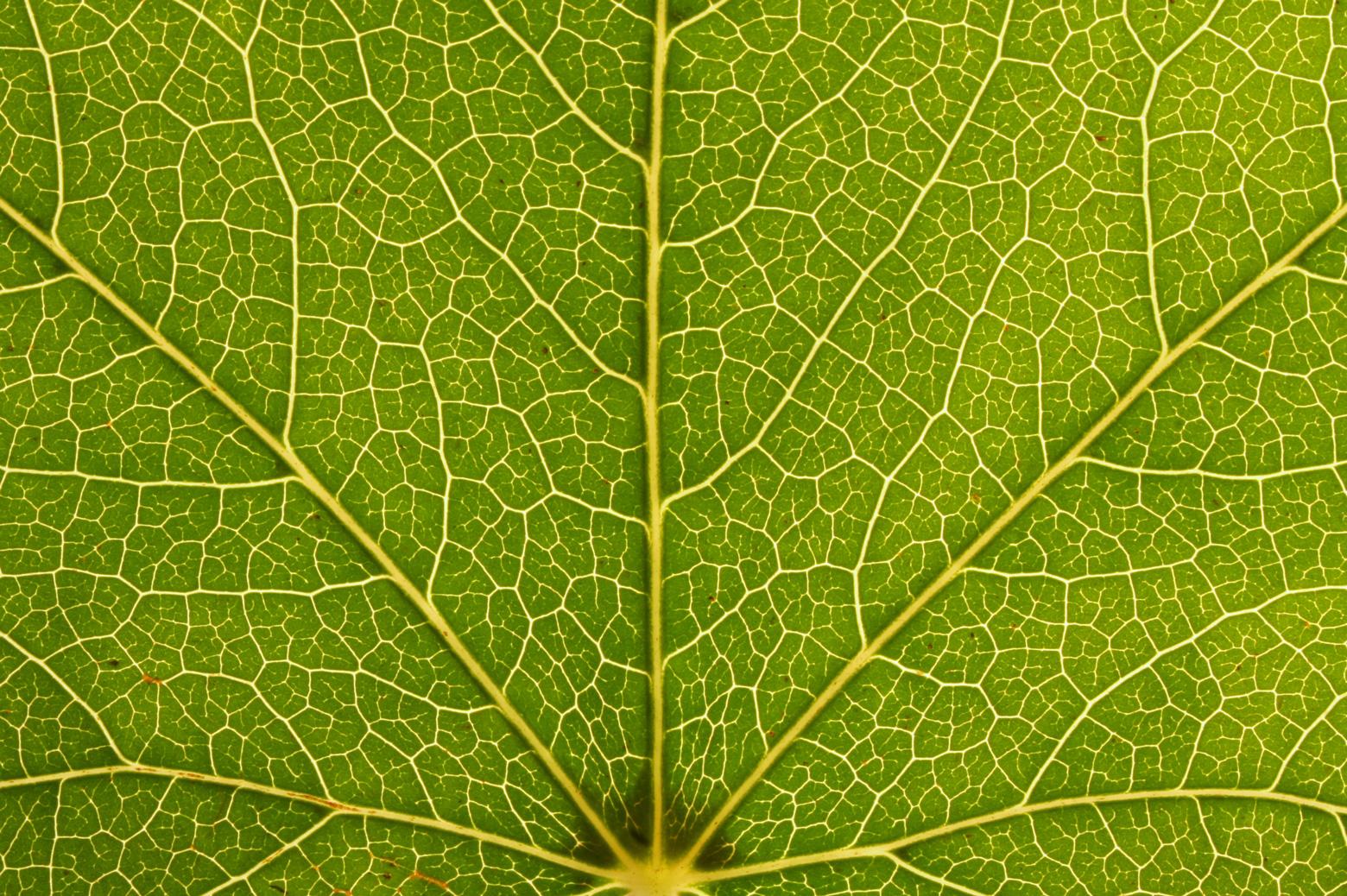 a close up shot of a leaf showing its fractal pattern
