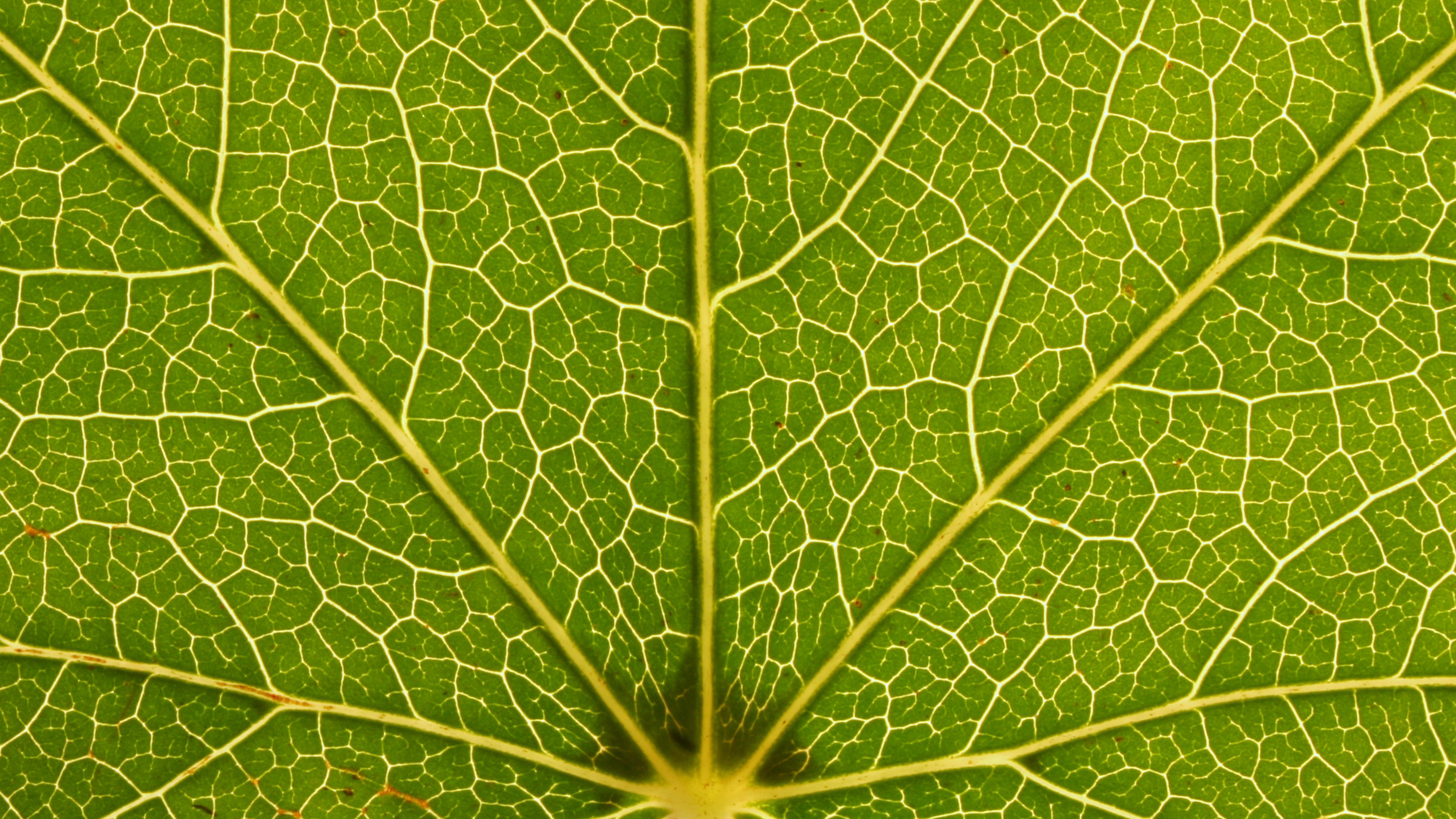 a close up shot of a leaf showing its fractal pattern