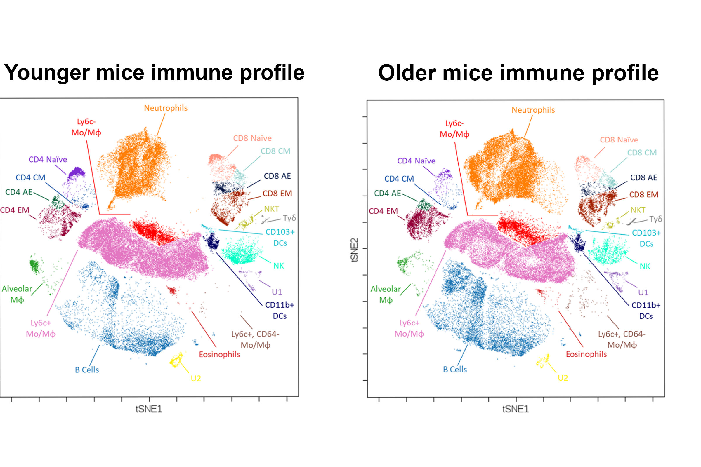 "These diagrams of cell counts show how immune cell profiles differ between young mice and old mice. In particular, older mice have more cells that are implicated in runaway immune responses (neutrophils, orange), fewer ""helper"" and ""killer"" T-cells that can be trained to go after new threats (CD4 naive, purple; CD8 naive, pink), and fewer cells that clear away both viruses and inflammation (Alveolar macrophages (Mϕ) green). These trends carry over to humans, beginning to explain why older patients with respiratory viral infections such as influenza and COVID-19 are more likely to experience excessive and harmful inflammation. Credit: Wen group, University of Michigan."