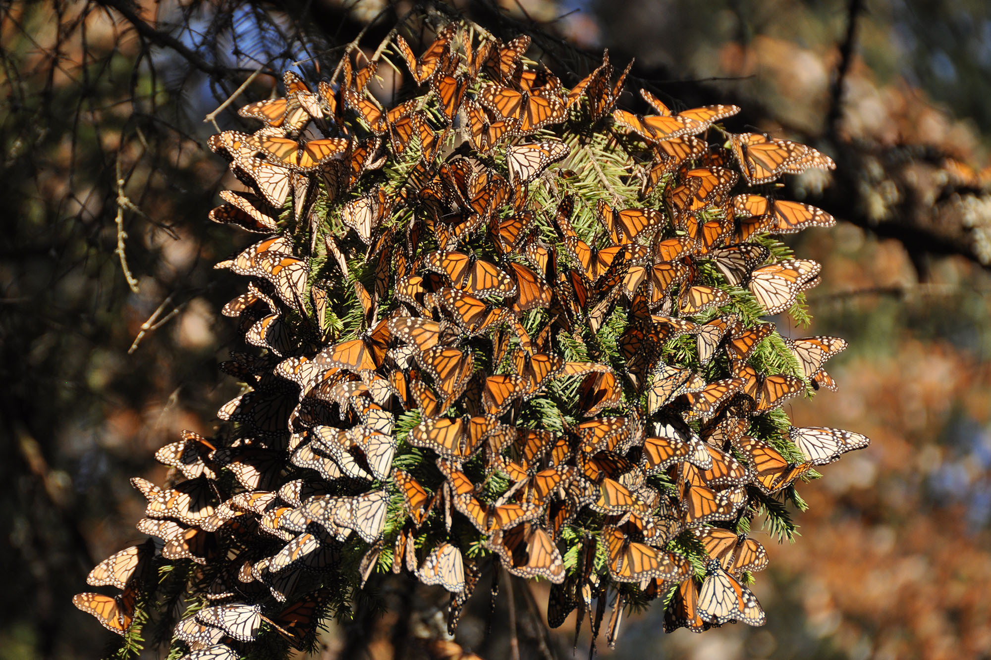 a cluster of monarch butterflies gather on a tree branch in the sun.