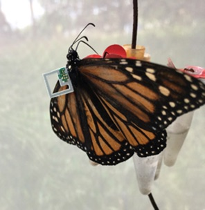 tiny sensor attached to the back of a monarch butterfly