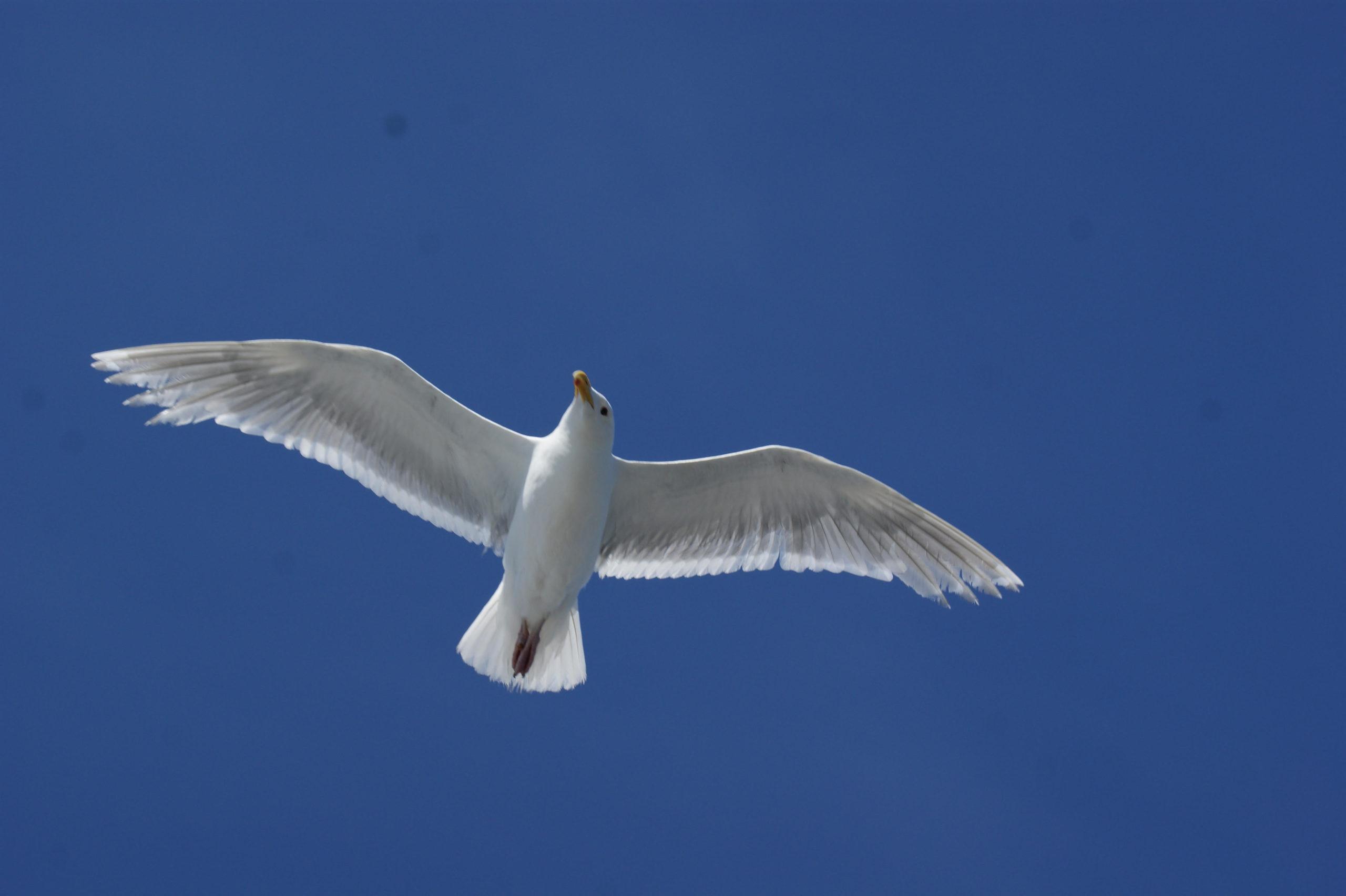 white gull flying